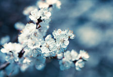 Slightly blurred beautiful apricot flowers Stock Images
