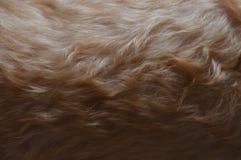 Slightly curly Beige color fur of poodle dog. stock image
