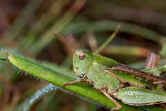 Slightly dewed grasshopper. Small green grasshopper with brown wings on a blade of grass with small dew drops on it Stock Photos