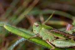 Slightly dewed grasshopper Stock Photos