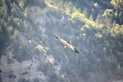 Slightly enlightened front view of a Griffon vulture in Baronnies. Flying freely. With cliffs and mountain in the background in Drome Provencale, France Royalty Free Stock Image