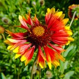 Slightly overblown Gaillardia Pulchella. Called firewheel, Indian blanket, Indian blanketflower, or sundance. It is a North American species of short-lived Stock Images
