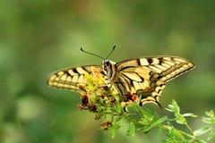 Papilio machaon. Slightly present sitting on a green bush Queen`s Papilio Papilio machaon Stock Photography