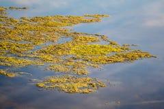 Slijmerige, groene drijvende wateralgen op de vijveroppervlakte Groen onkruid die op waterspiegel, het verzuren water groeien royalty-vrije stock afbeelding