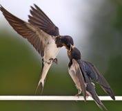 Slik het voeden van een jonge vogel stock foto's