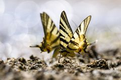 Slik staartvlinder royalty-vrije stock foto's