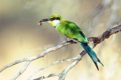Slikken-de steel verwijderde van Bijeneter die een bij, het Grensoverschrijdende Nationale Park van Kgalagadi, Zuid-Afrika eten Royalty-vrije Stock Foto