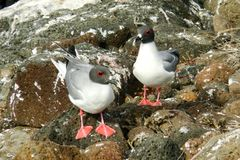 Slikken-de steel verwijderde van Meeuw op Genovesa-Eiland, de Galapagos Royalty-vrije Stock Foto