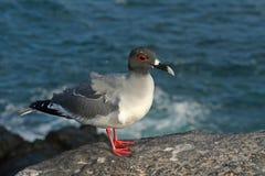 Slikken-de steel verwijderde van zeemeeuw, de Eilanden van de Galapagos Stock Fotografie