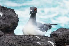 Slikken-de steel verwijderde van zeemeeuw, de Eilanden van de Galapagos Stock Foto's