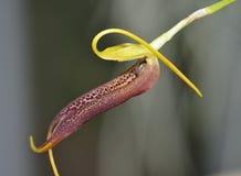 Slim-Beaked Masdevallia Orchid Stock Photos