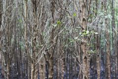 A slim dry trees in mangroove forest with black mud on the ground, eco nature tourism royalty free stock photography