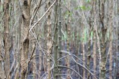A slim dry trees in mangroove forest with black mud on the ground, eco nature tourism royalty free stock images