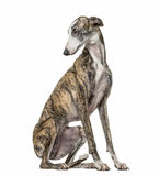 Slim galgo looking backwards, isolated Stock Photos
