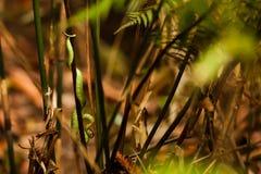 Slim green snake hangs at branch in Sigharaja Forest, Sri Lanka Royalty Free Stock Photos