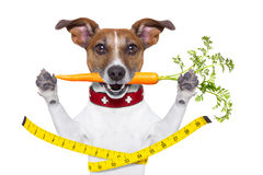 Slim healthy dog. Healthy dog  with carrot in mouth and measuring tape around waist isolated on white background Stock Photos