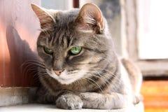 Slim kijk groen-eyed kat Royalty-vrije Stock Foto