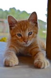 Slim Pickins the barn cat. Slim Pickins, the orange tabby barn cat hangs around the front door more than he does the barn. This little kitten has so much stock image