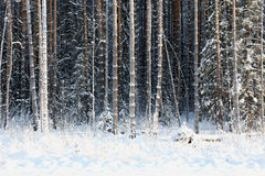 Slim pine covered with frost and snow Stock Photo