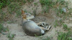 Slim Wolf Looking Around While Lying in een Dierentuin in de Zomer in Langzame Motie stock videobeelden