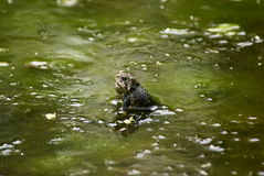 slime φρύνος Στοκ Φωτογραφίες