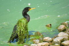 Slime Covered Cormorant Bird. A black cormorant bird is covered in lake weed on an algae encrusted lake Stock Photos