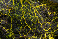 Slime mold. / slime mould (physarum sp) on the decay log stock images