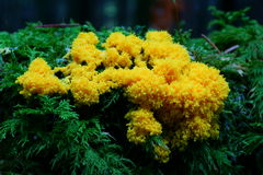 Free Slime Mold Mushroom In Conifer Forest Stock Photo - 44119530