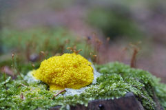 Slime mould. Detail of the slime mould - mushroom stock photography