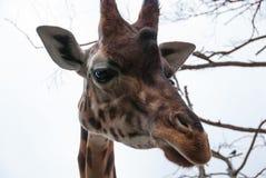 Slimme dierlijke giraf die me bekijken Stock Afbeelding