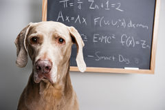 Slimme hond Royalty-vrije Stock Foto's