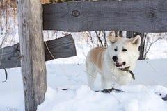 Slimme hond met rood haar Japanse Akita Inu in de winter in het bos onder de grote sneeuwbanken Stock Foto's