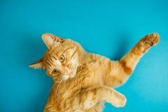 Slimme lange eared gestreepte katkat met het minachtende blik stellen Stock Fotografie