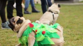 Slimme pug die bij hond presteren toont, zitting en het liggen op het bevel van de eigenaar stock footage