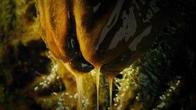 Slimy alien egg pod dripping in nest. Alien egg pod drips slime closeup stock video footage