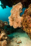 Slimy leather coral in the Red Sea. Stock Image