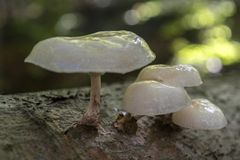 Slimy looking porcelain fungus (Oudemansiella mucida) Royalty Free Stock Photos