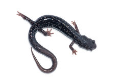 Slimy Salamander. Photograph of a Slimy Salamander isolated against a white background Stock Photos
