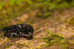 Slimy Salamander Stock Image