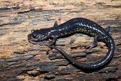 Slimy Salamander (Plethodon glutinosus) Royalty Free Stock Image