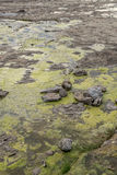 Slimy Tide Pools Stock Image
