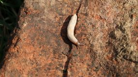 Slimy white forest slug crawling on the dirt of a wet forest bottom Stock Images