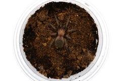 Sling Brachypelma albiceps or Mexican golden red rump tarantula Royalty Free Stock Photos