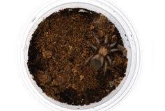 Sling Brachypelma albiceps or Mexican golden red rump tarantula Royalty Free Stock Photography
