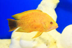 Sling-jaw wrasse Royalty Free Stock Images
