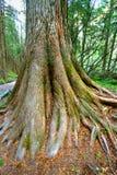 Slinga av cederträ i Montana Fotografering för Bildbyråer