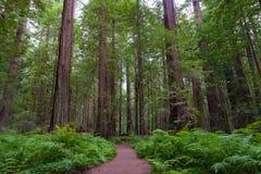 Slinga i redwoodträdmedborgare och delstatsparkar Fotografering för Bildbyråer
