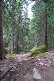Slinga- och granträd i skogen Royaltyfri Fotografi