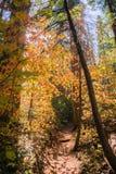 Slingan till och med en skog som målas i nedgång, färgar, Calaveras stora träd delstatsparken, Kalifornien Arkivfoto
