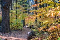 Slingan till och med en skog som målas i nedgång, färgar, Calaveras stora träd delstatsparken, Kalifornien Arkivbild